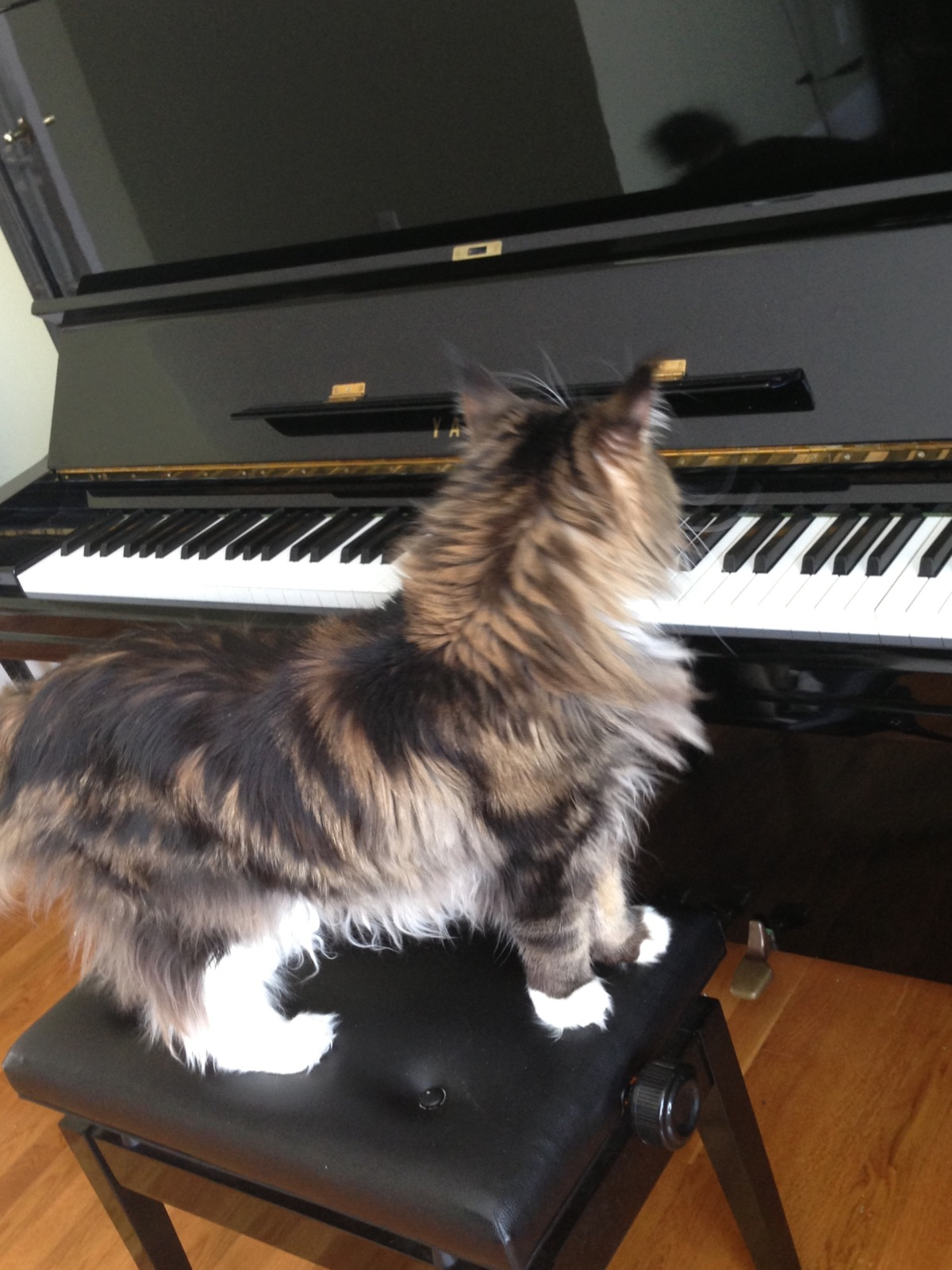 A Cat Contemplates the Piano